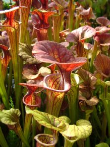Sarracenia flava var cuprea beautiful copper lids SF019